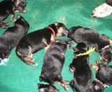 Akc Red/blk And Tan/blk German Shepherd Puppies-born