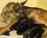 Akc German German Shepherd Puppies