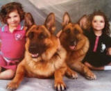 European Show line German shepherd Puppies